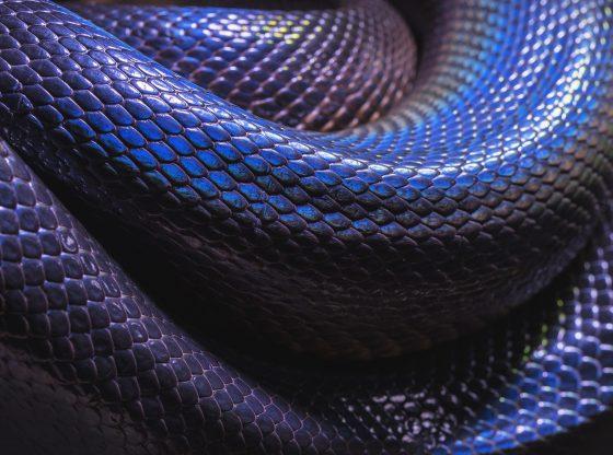 blue snake close up