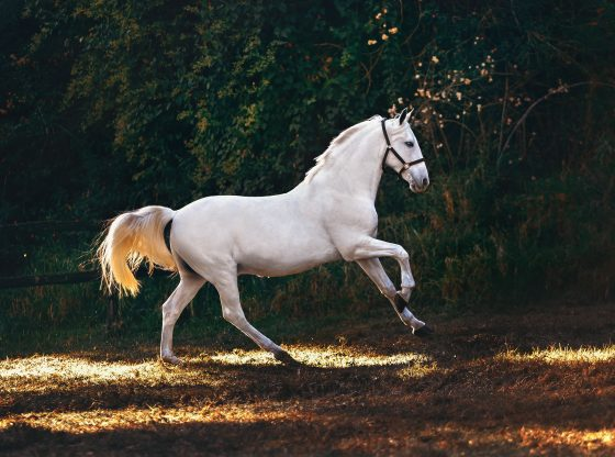 white horse galloping in nature